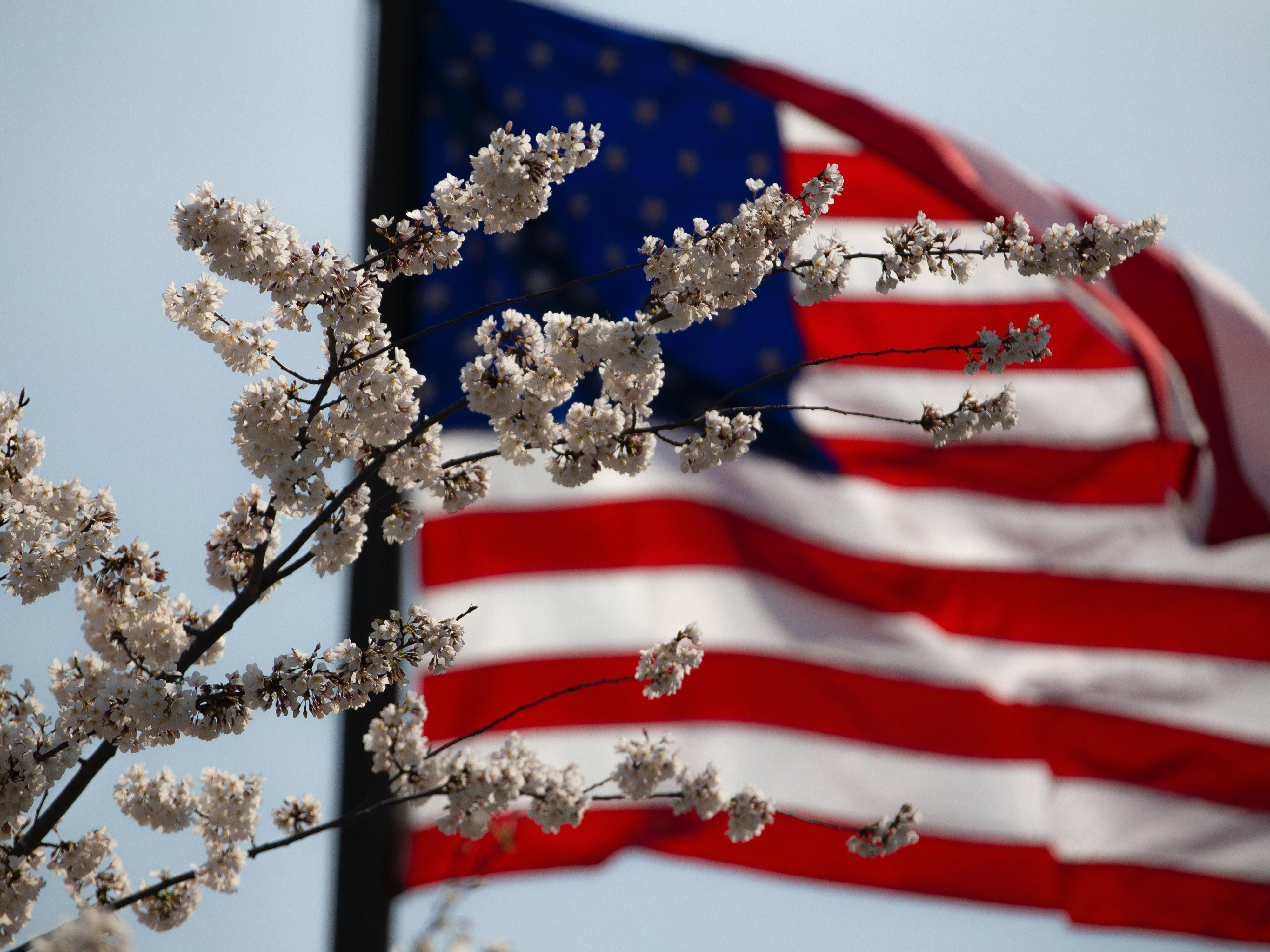 Cherry Blossoms and American Flag