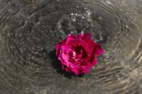 Rose In Fountain